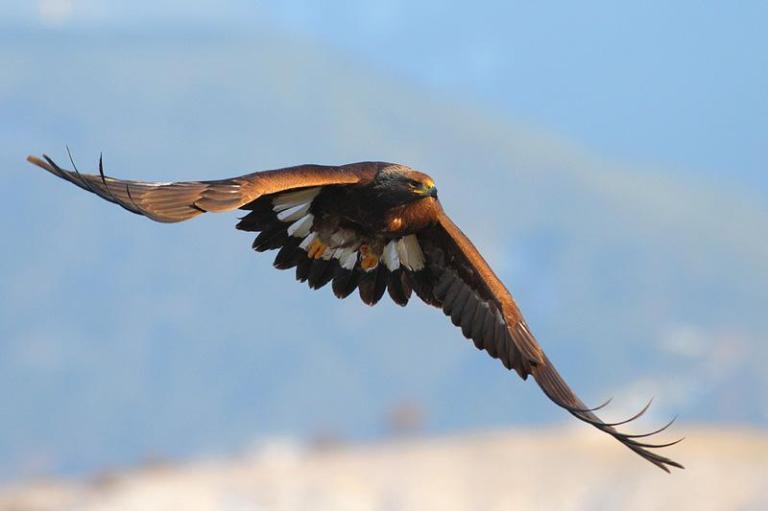 golden-eagle_9_medium